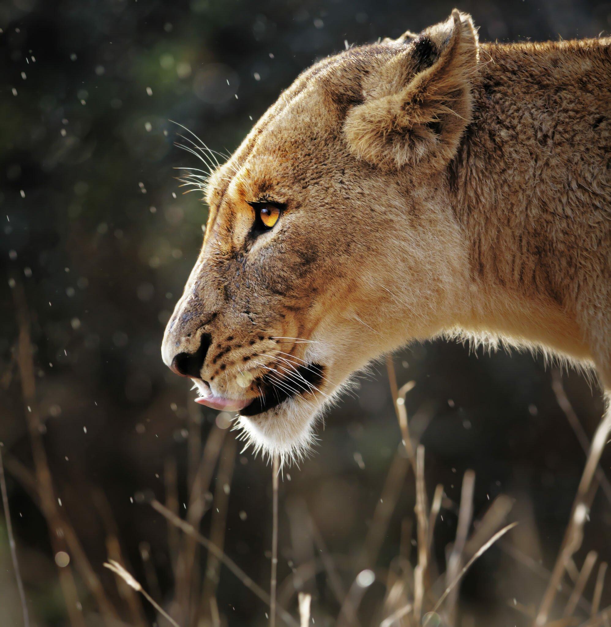 Lioness side profile close up