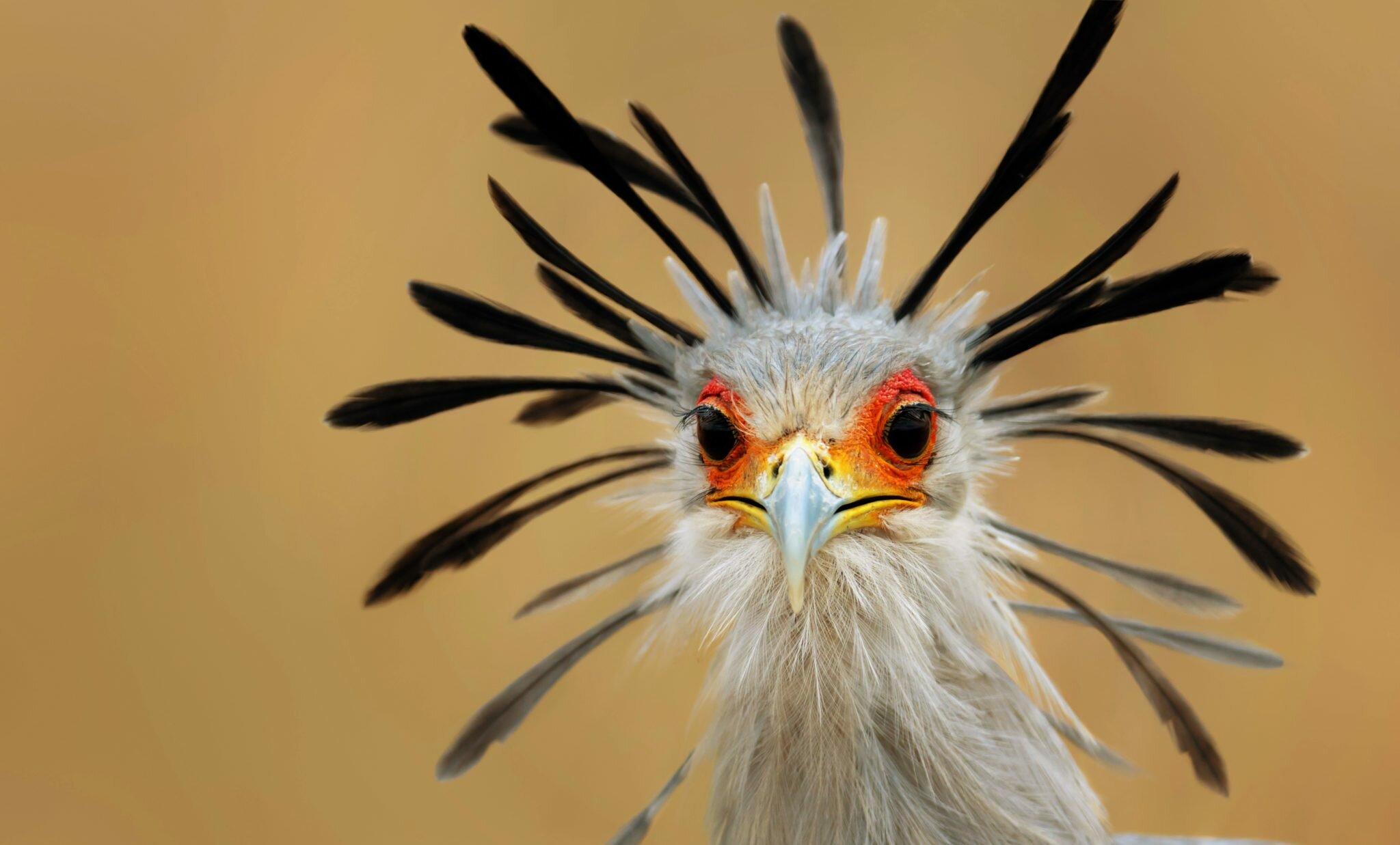Secretary Bird with quills