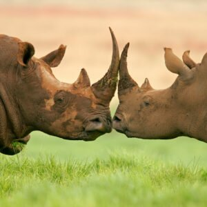 White Rhino kiss