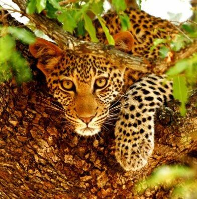 Leopard cub in tree