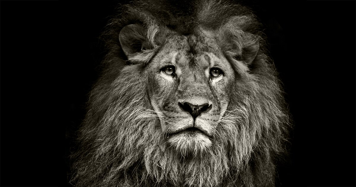 Male lion frontal
