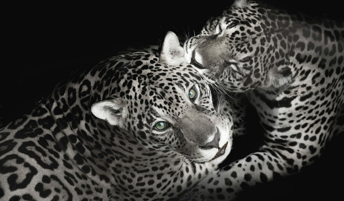 leopards with green eyes