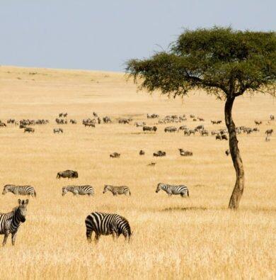 Wildebeest & zebra herd in yellow grass plains