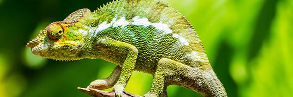 984125_FTS-BlogImages-Chameleons-600x200_022421