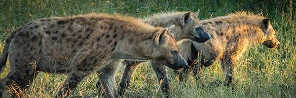 984125_FTS-BlogImages-Hyena-600x200_022521