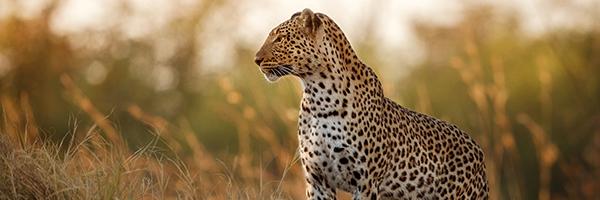 984125_FTS-BlogImages-Leopard-600x200_022421
