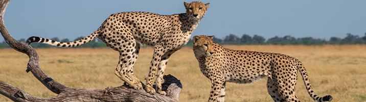 1000570_FTS-blog-Cheetah-3_030912