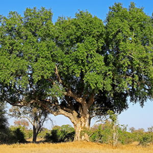 Sycamore Fig Tree