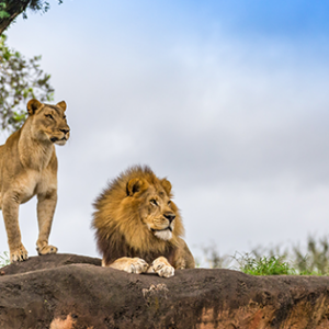 Picture of Lions in Greater Krugers