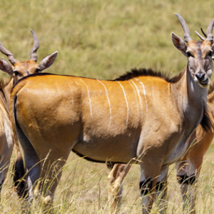 Photo of Eland is the world's largest and most ox-like antelope.