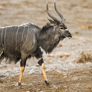 Picture of Nyala Antelope