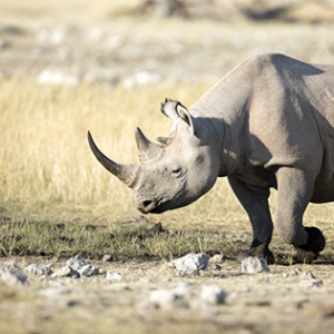 One of Africa's most exciting and exclusive wildlife experiences is the opportunity to track rhinos in the remote wilds of Damaraland