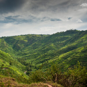 Mountain gorilla landscape