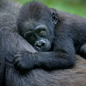 mountain gorilla baby with mother