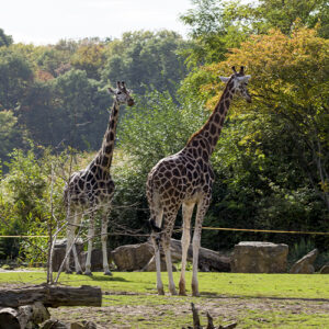 Eyeball the world's tallest animal at the AFEW Giraffe Centre