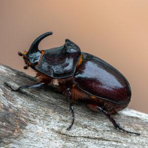 Meet the little 5 Rhinoceros beetle