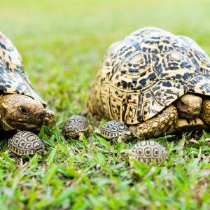 Fair Trade Safaris meet the Leopard tortoise