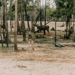 Nyika National Park zebra